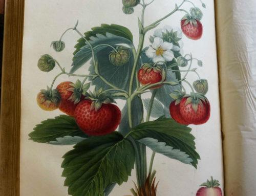 Überdimensionale Erdbeeren an jeder Ecke …